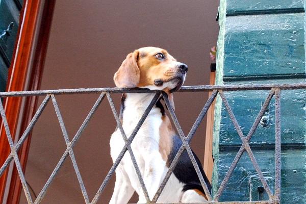 cane al balcone