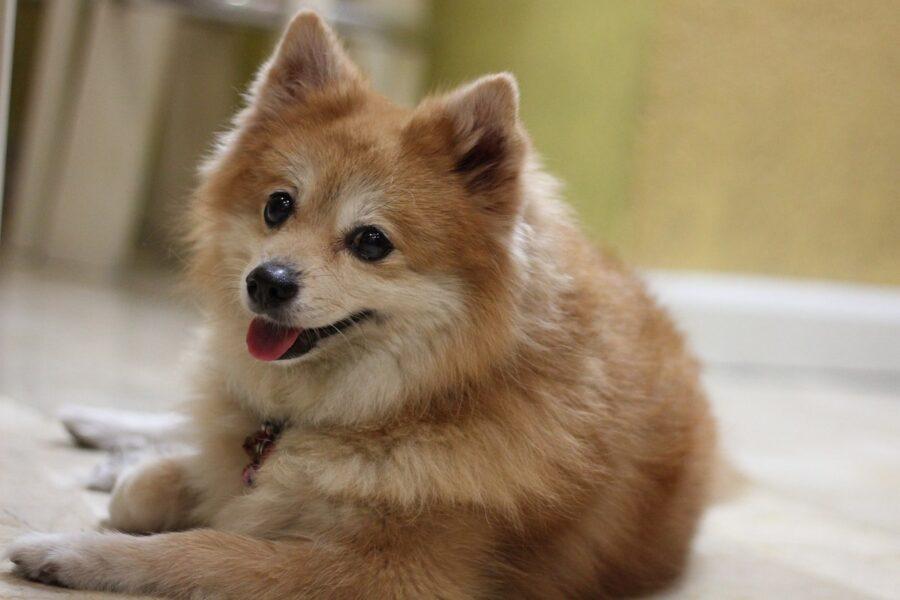 cane tipo spitz