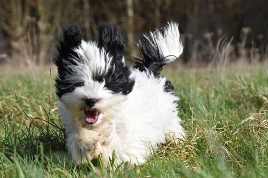 cagnolino bianco e nero che corre