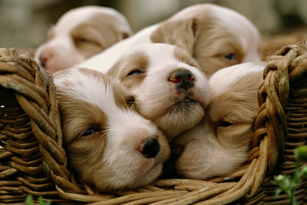 cucciolata di cani
