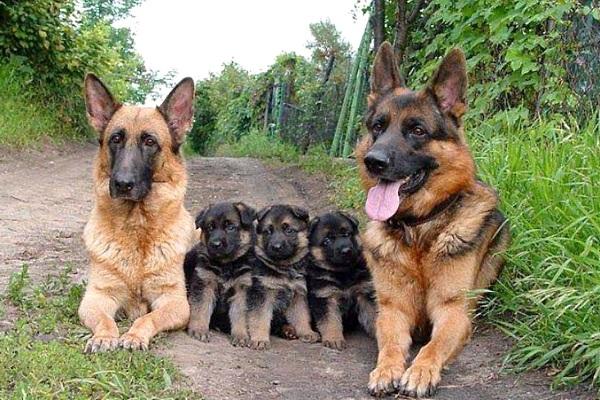 famiglia di cani