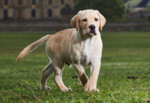 cucciolo di cane quando inizia a camminare