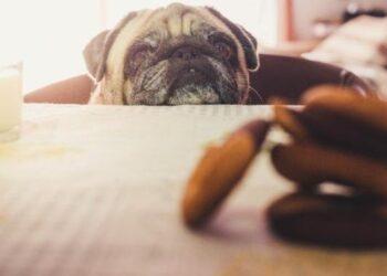 un cane guarda i biscotti sul tavolo