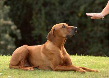 un cane esegue il comando giù