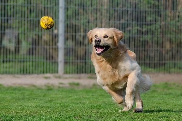 cane insegue palla