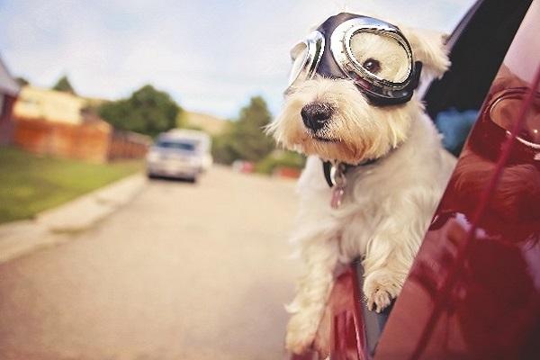 cane con occhiali da aviatore