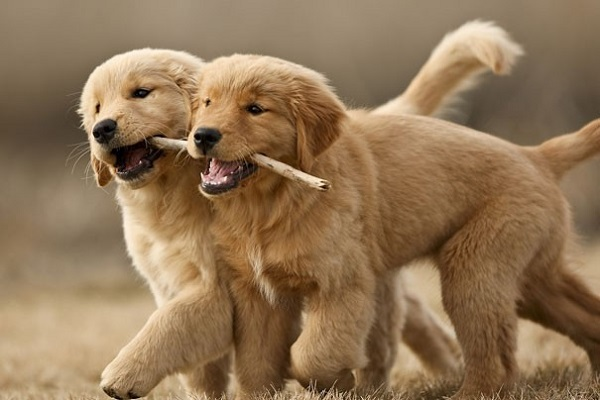 cuccioli di cane inseparabili