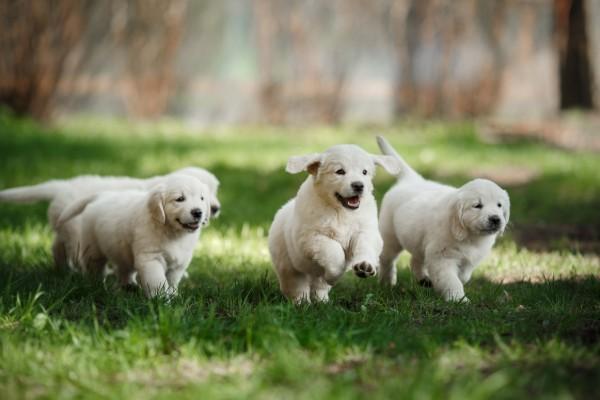 cuccioli di labrador corrono insieme