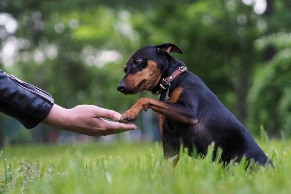 Cuccioli di pinscher nano: come educarli