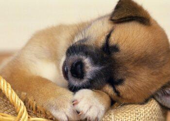 un cucciolo dorme nella cucciola