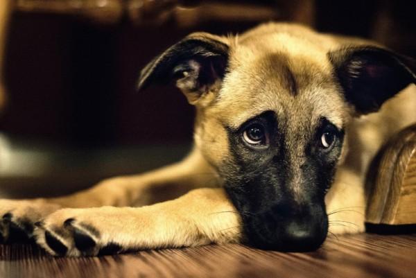 cucciolo con sguardo triste