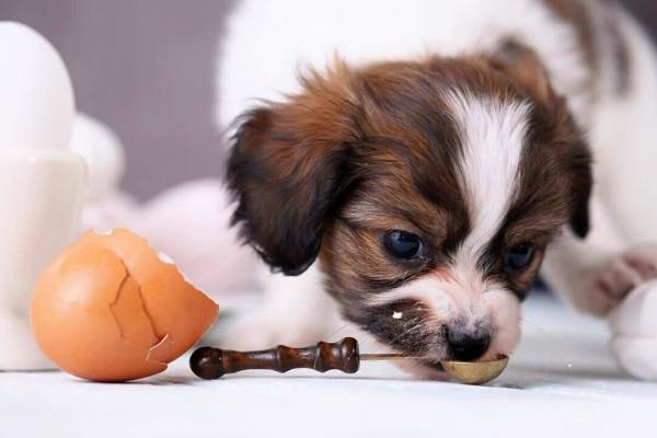 un cane mangia uova dal cucchiaino