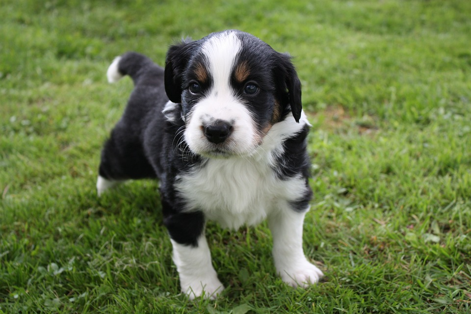 cucciolo-pedigree