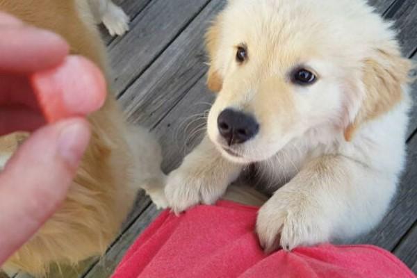 un cucciolo aspetta un biscotto