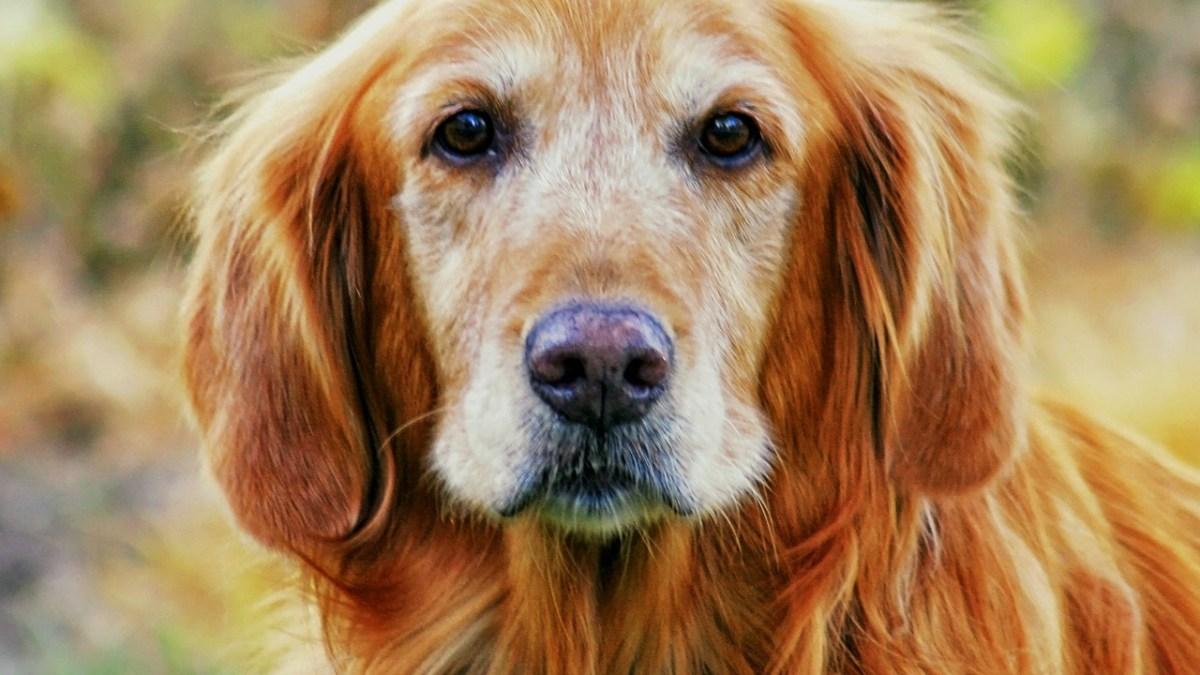 cane color miele a pelo lungo