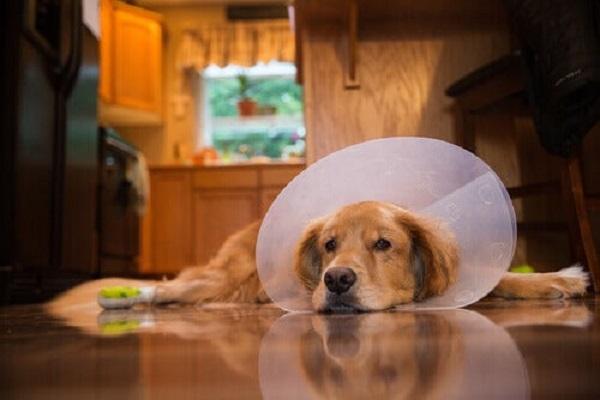 cane dopo un intervento chirurgico
