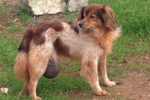 cane con ernia
