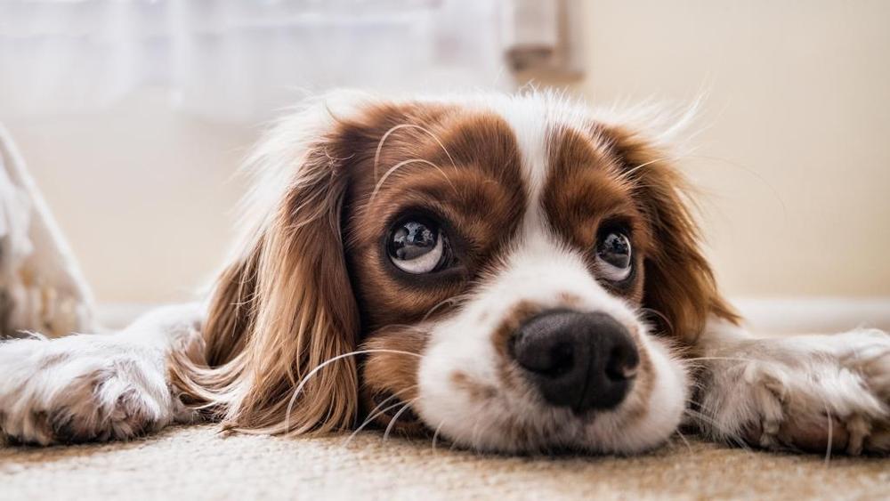 espressione-facciale-cane