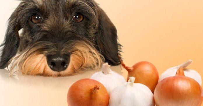 un cane guarda le cipolle