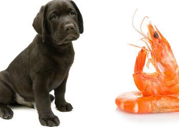 cane e gamberetto