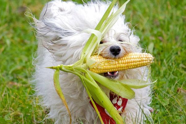 cane con pannocchia