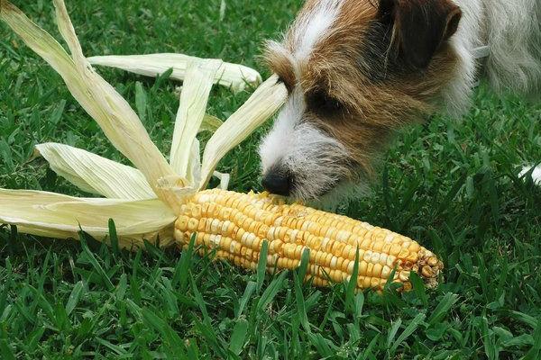 cane annusa mais