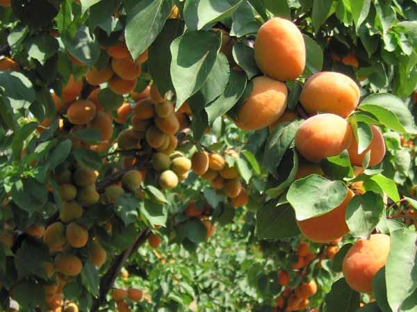 albero di albicocco