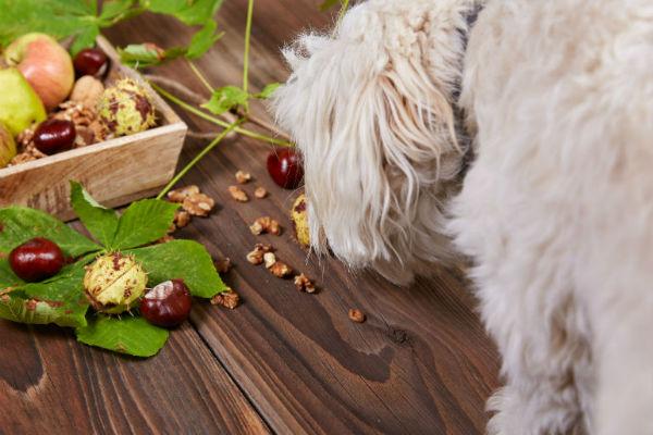 I cani possono mangiare le nocciole?