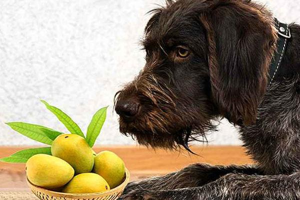 I cani possono mangiare il mango?