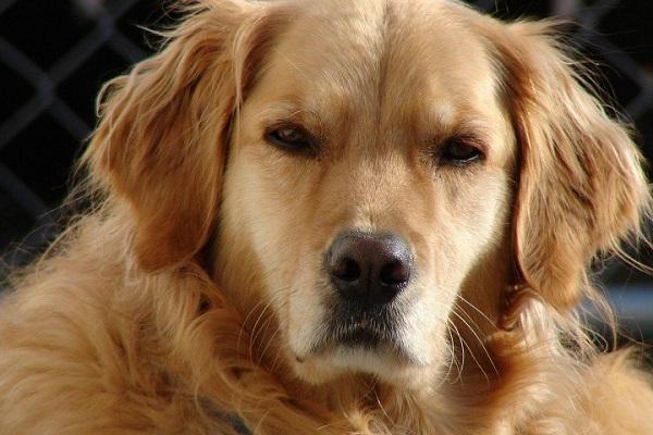 cane che scruta