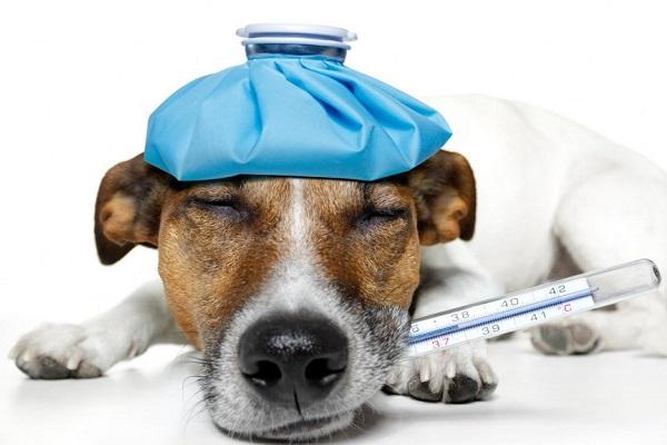 cane con termometro