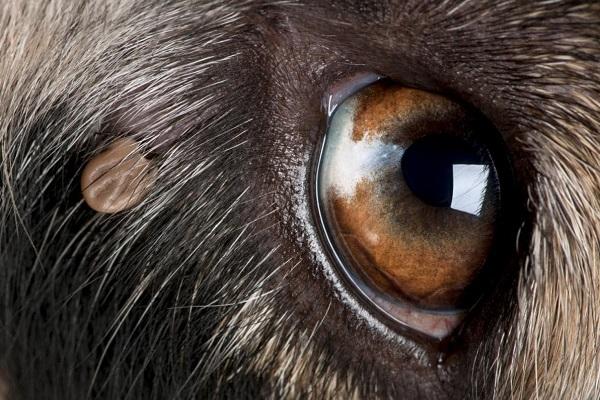 occhio di cane