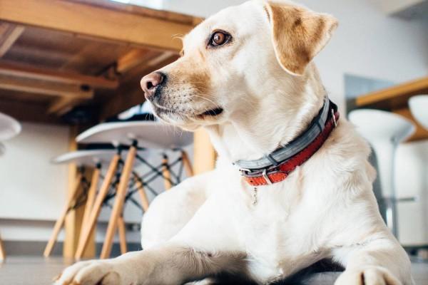 cane sdraiato a orecchie tese