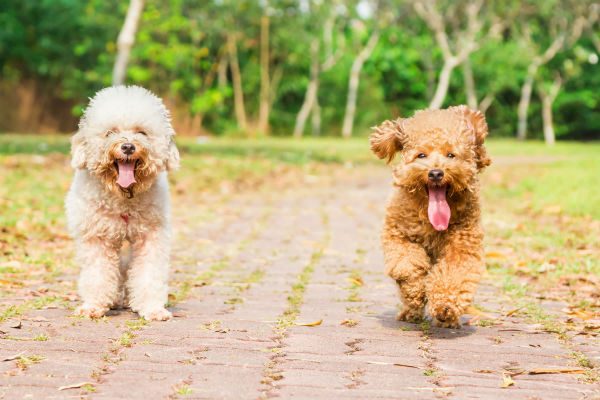 cani che camminano