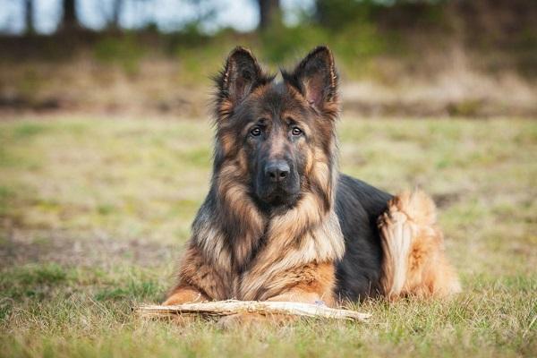 pastore tedesco cane
