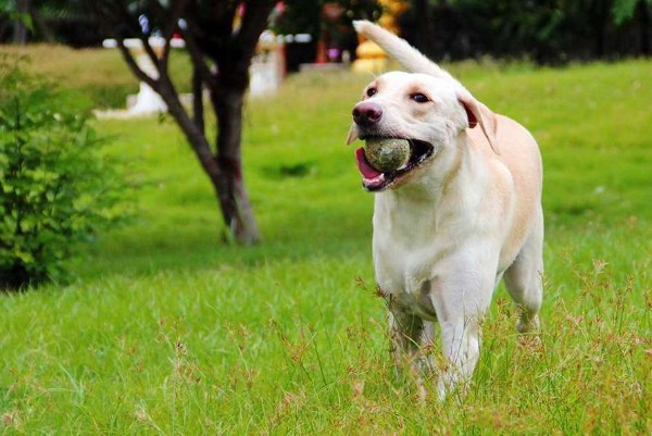 un cane riporta una pallina