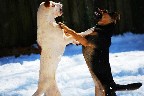 cani arrabbiati
