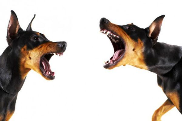 cani che lottano