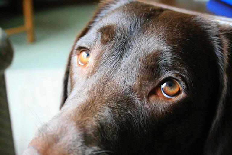 occhi-cani