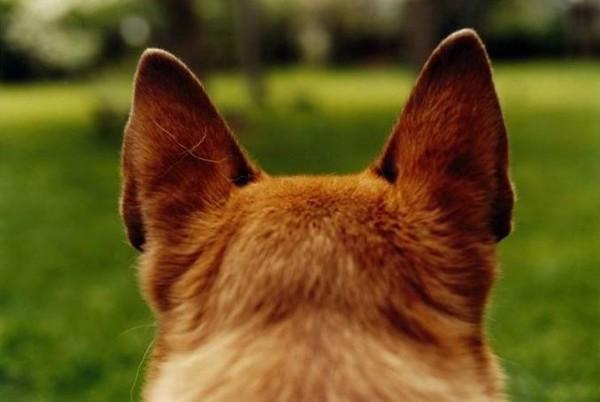 orecchie tese del cane