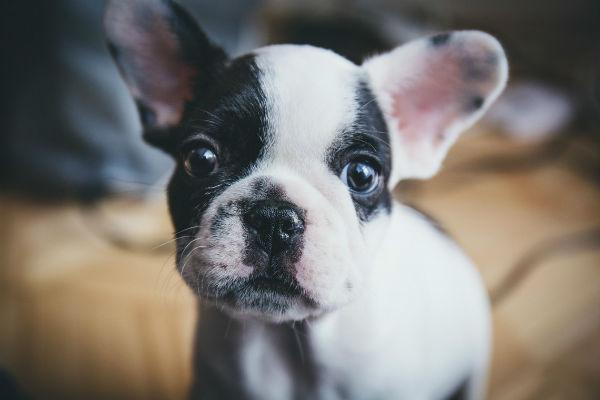 cane con orecchie tese
