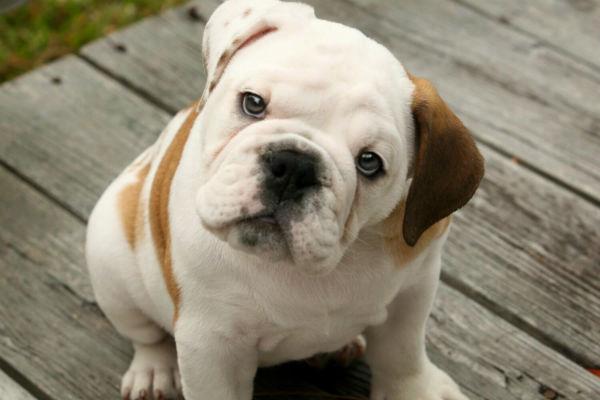 cane bianco e marrone
