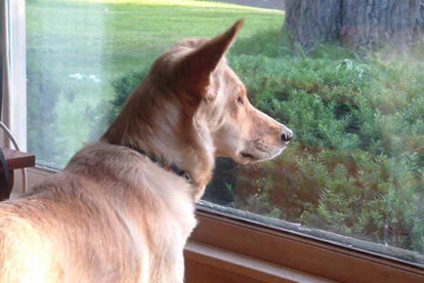 cane guarda dalla finestra