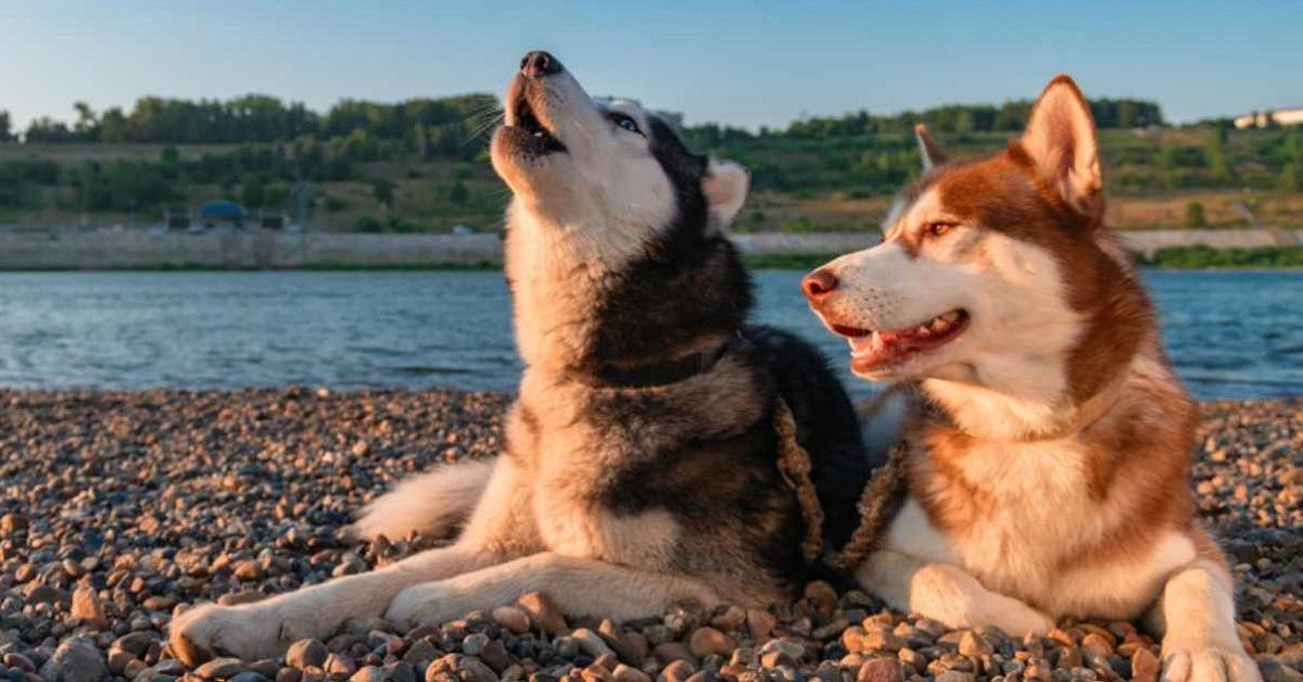 Perché i cani ululano alla luna, esattamente come i lupi?