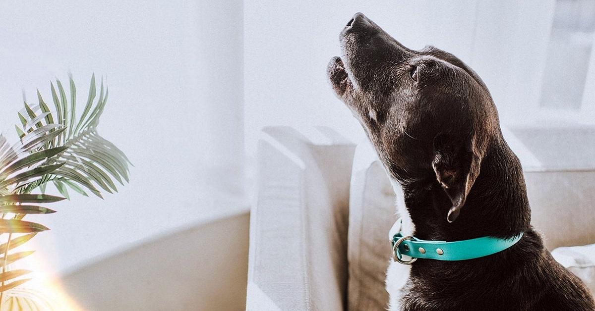 Perché i cani ululano alla luna?
