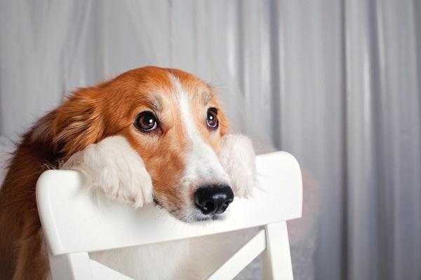 cane dubbioso
