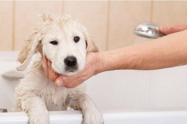 cane lavato