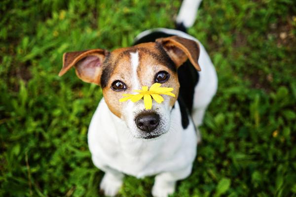 cane con fiore giallo