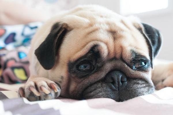 cane che piange