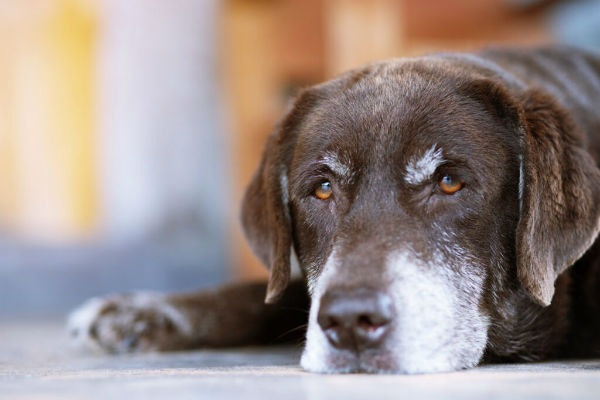 Supplementi per cane anziano: come farlo mangiare meglio?